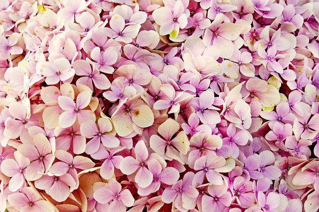 Hydrangeas Bloom
