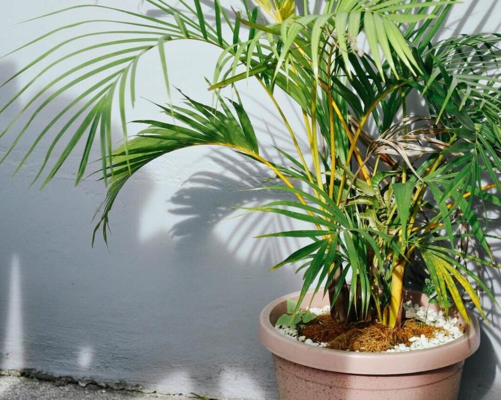 Indoor Palm Tree