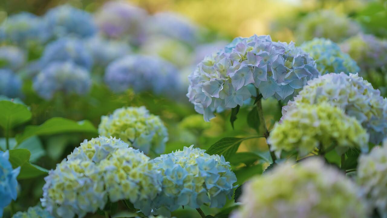 Pruning Hydrangeas-How To Prune Hydrangeas