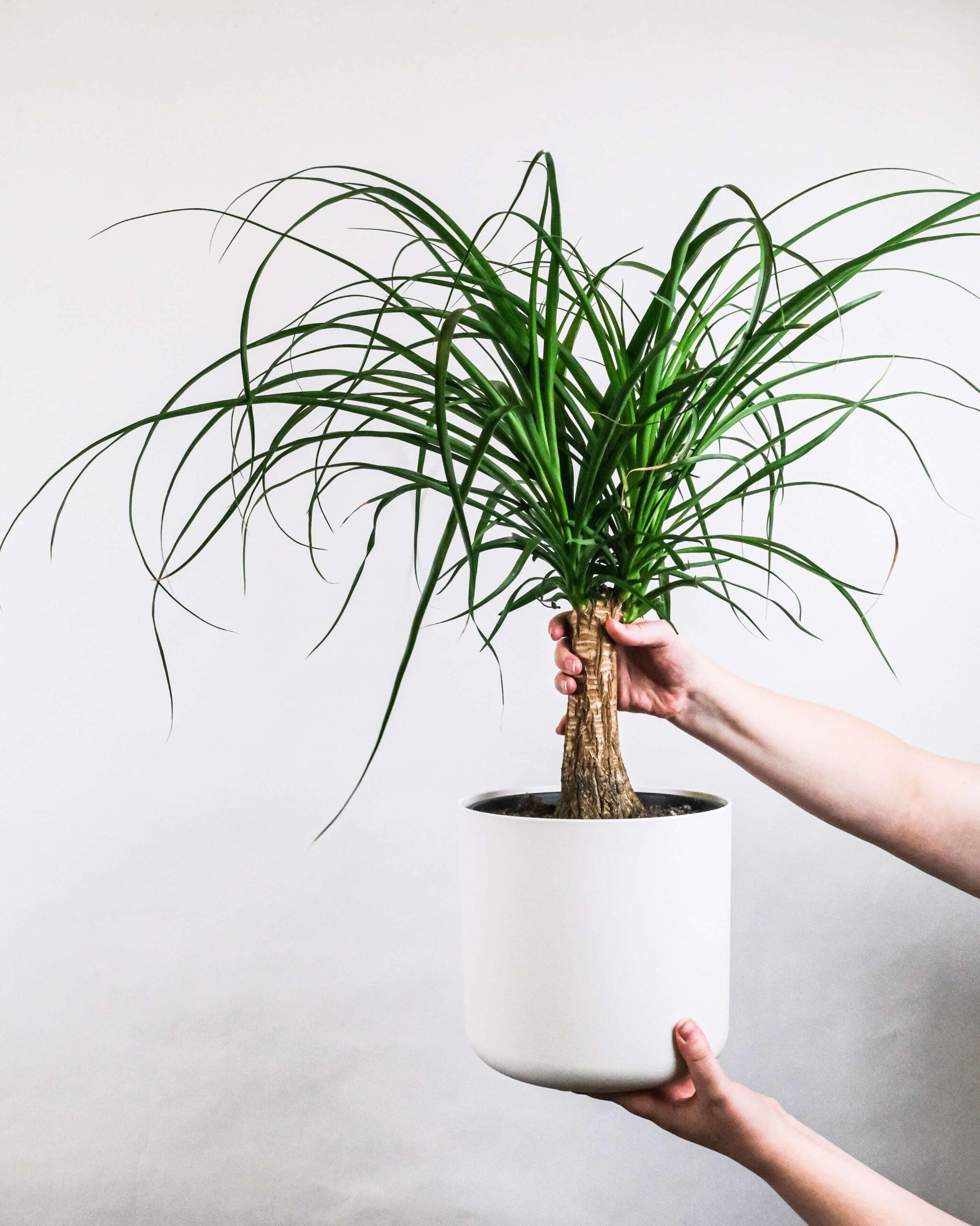Sago Palm Care