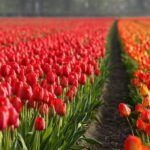 When to plant tulip bulbs