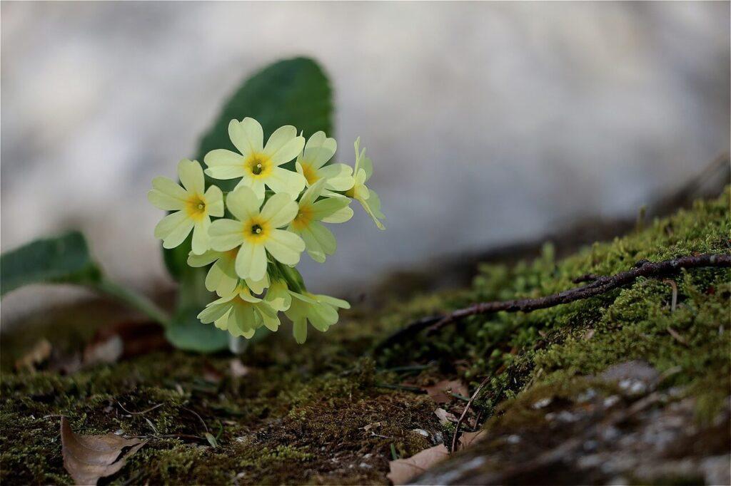 grow primroses