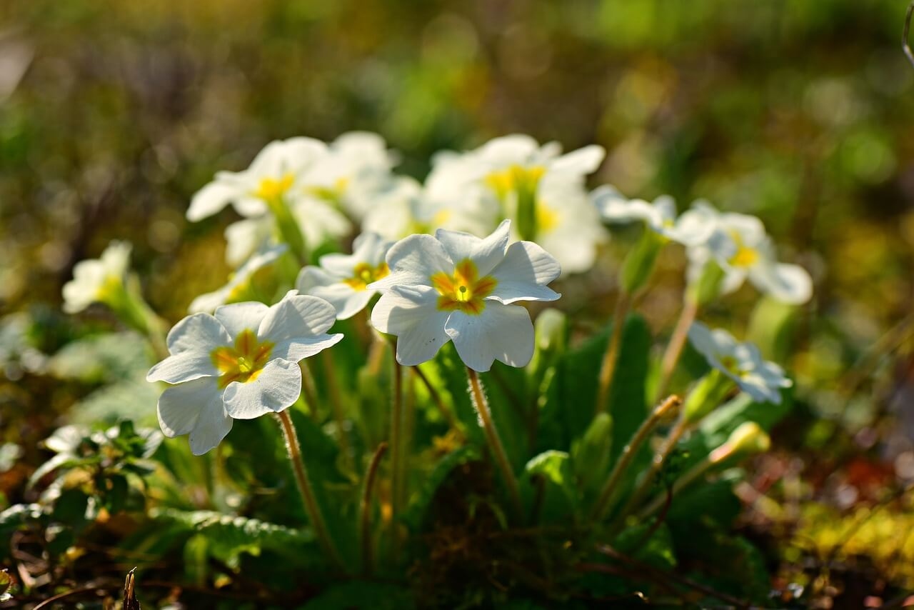 how to grow primroses