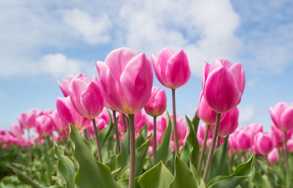 plant tulip bulbs