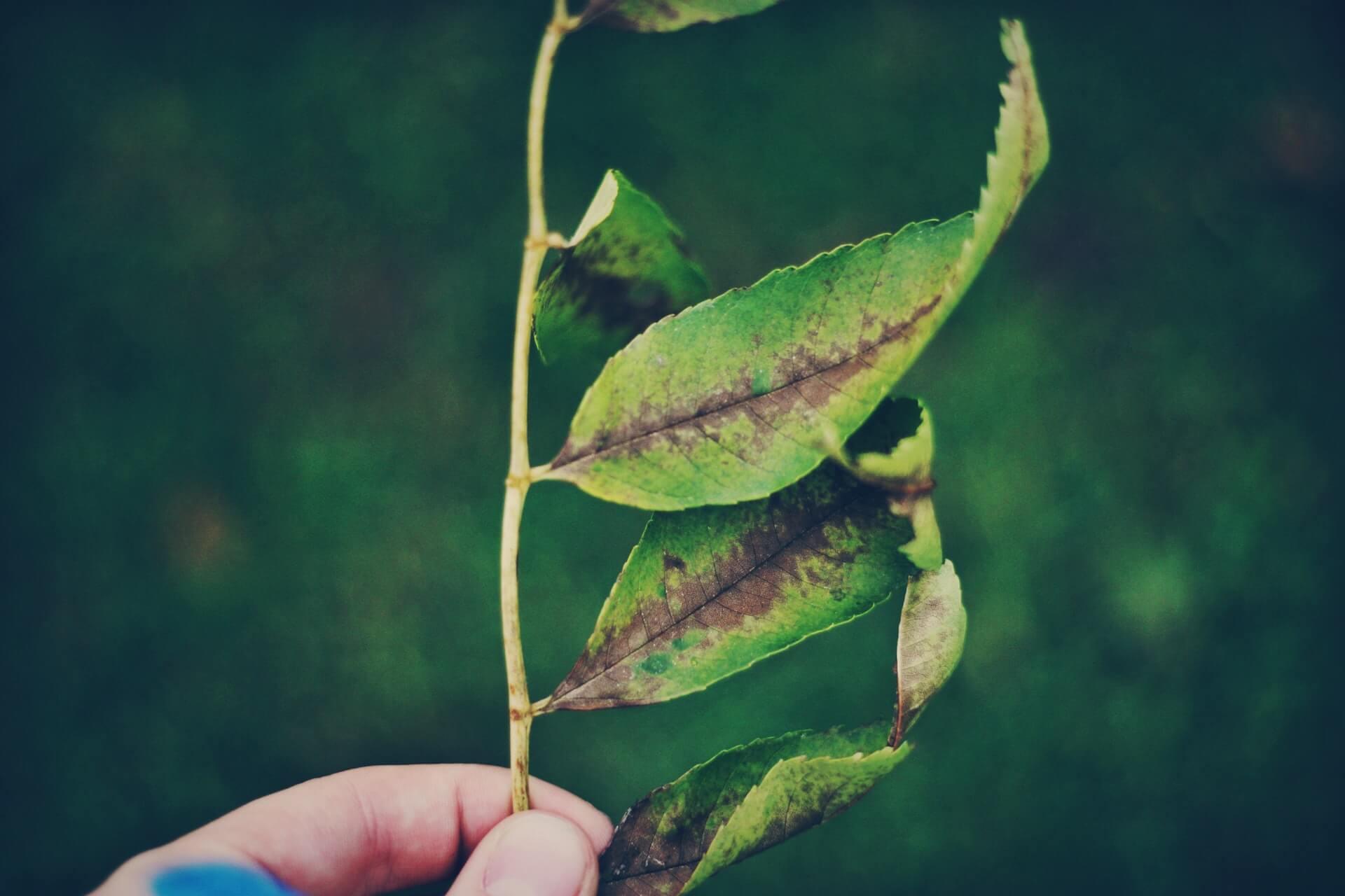 Brown Spots On Leaves