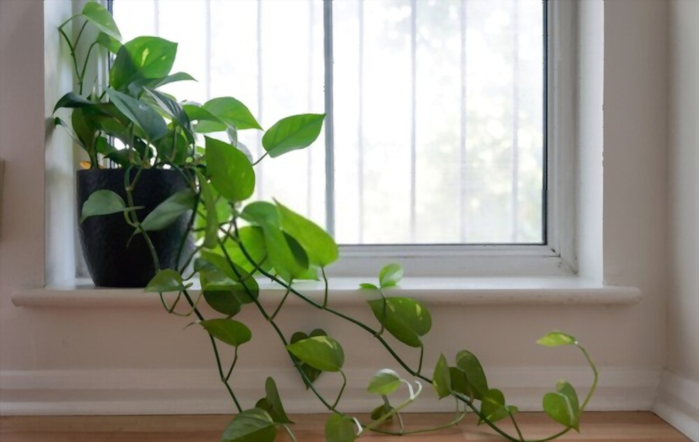 Philodendron Heartleaf Plant