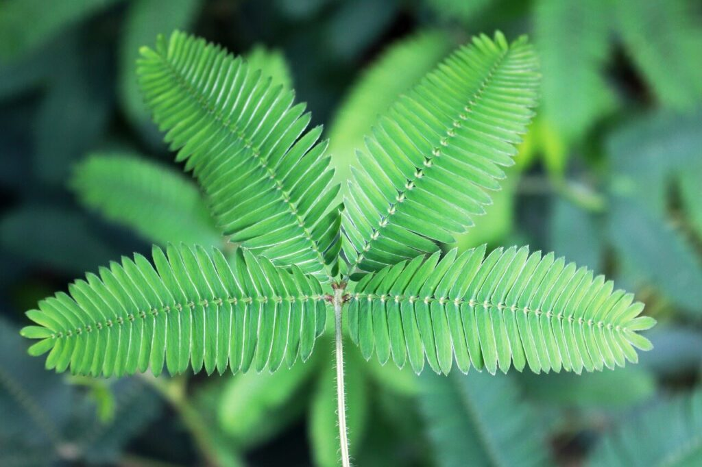 Sensitive Plant Or Mimosa Pudica Plant Care