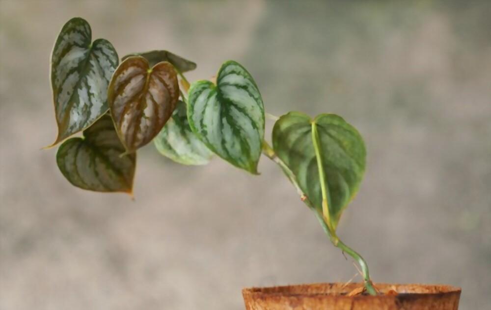 Brandtianum Plant
