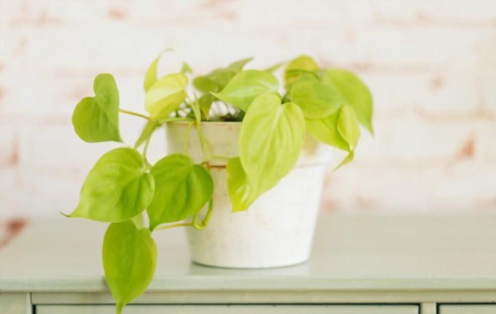 Philodendron Lemon Lime Plant