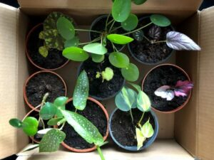Philodendron Varieties
