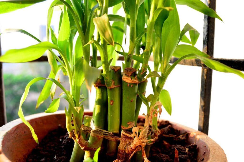lucky bamboo turning yellow