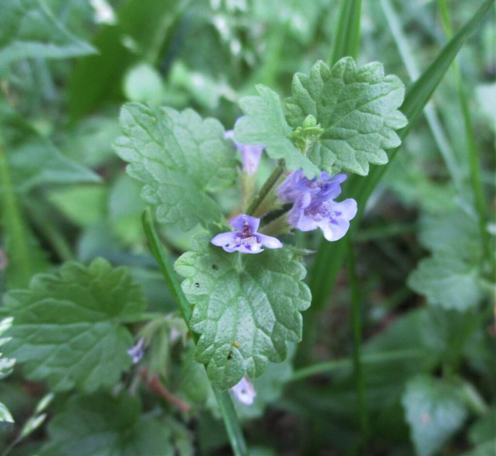 What are the Weeds with Purple Flowers Called Creeping Charlie