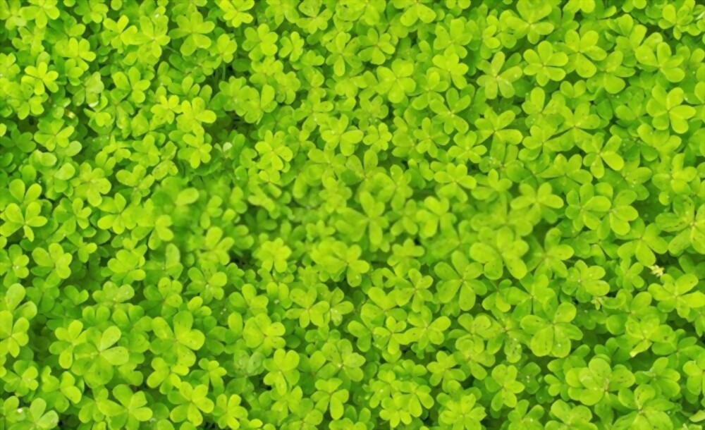 What is Micro Clover