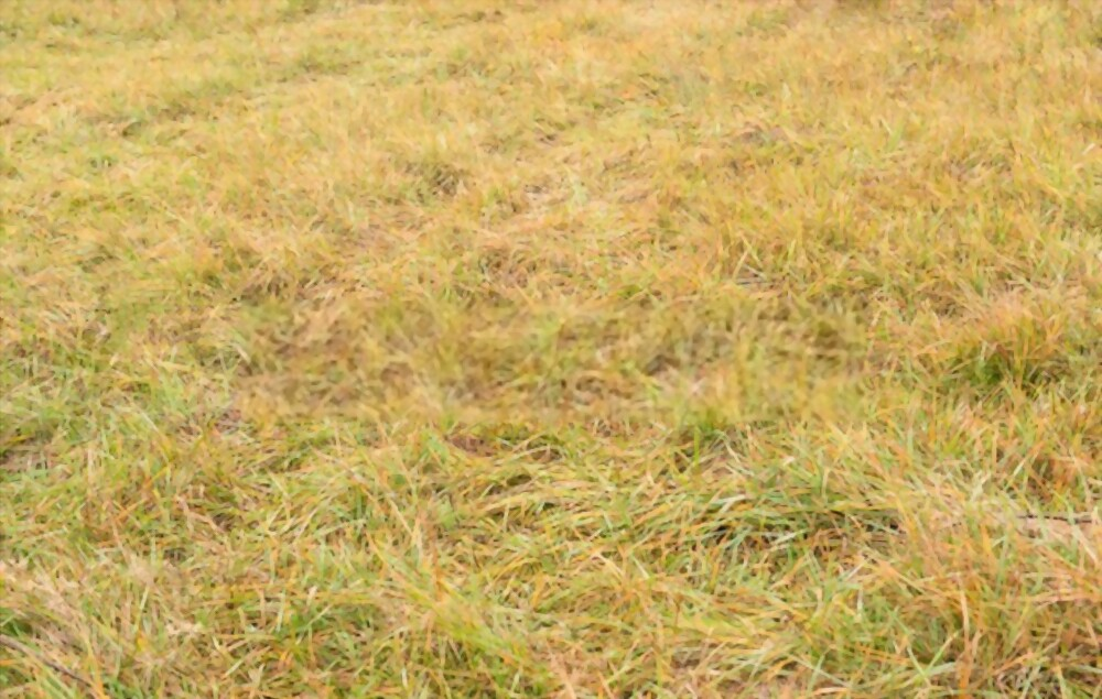 Why is my Grass Turning Yellow and Dying