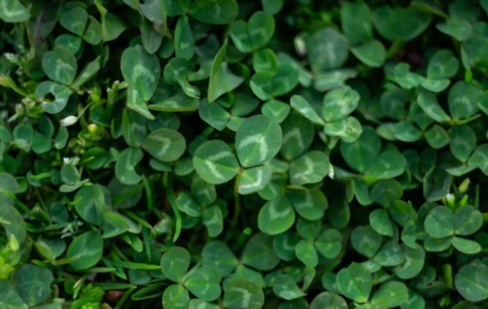 Why You Should Consider a Micro Clover Lawn