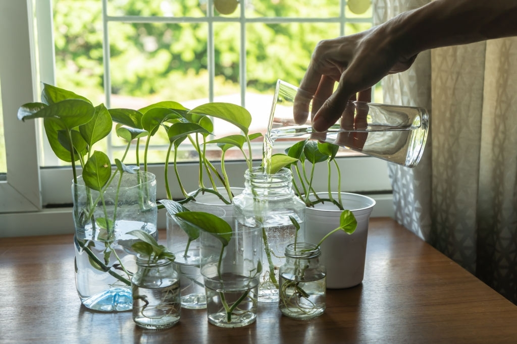 Watering Pothos Plants
